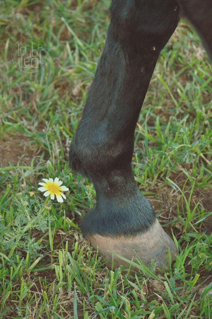 Pata de caballo y florecilla