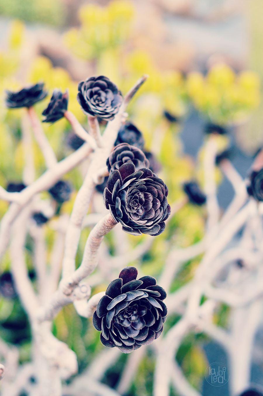 Aeonium atropurpureum de Laube Leal