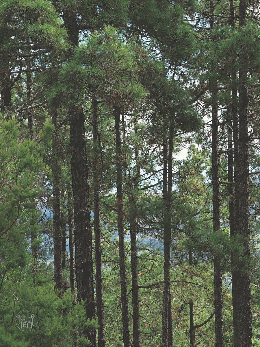 Entre pinos, relato corto original de Laube Leal